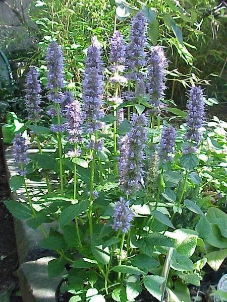 agastache rostlina - Agastache: Atraktivní bylina s vůní lékořice