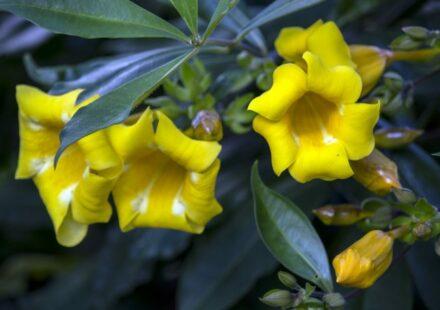 alamanda kvety