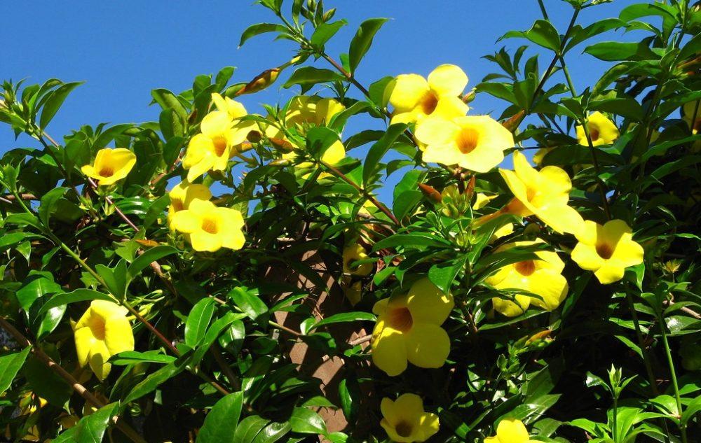 alamanda - Alamanda počistivá: Exotická trvalka s krásnými, žlutými květy