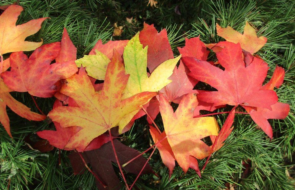 ambron listy - Elegantní ambroň, vykouzlí barevný podzim na zahrádce