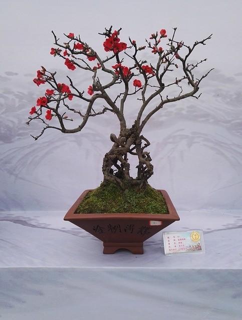 bonsaje - Co je důležité nezanedbat při přesazování bonsají
