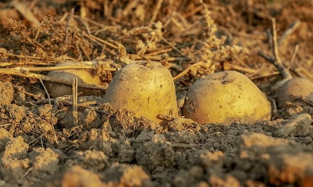 brambora - Brambory: Co dělat před výsadbou, kam a jak zasadit