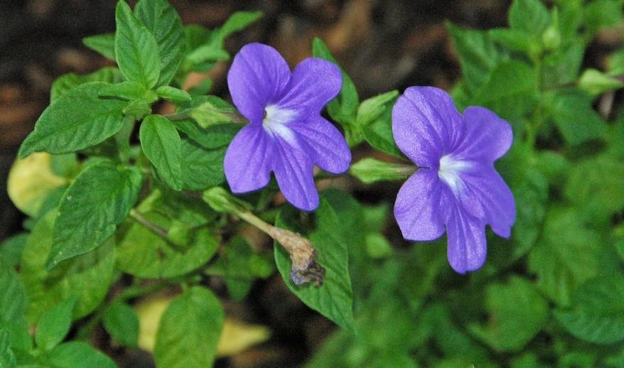 brovalie kvety - Broválie přiláká pozornost krásně modrými květy