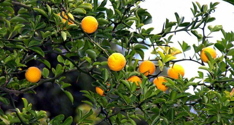 citronecnik trojlisty