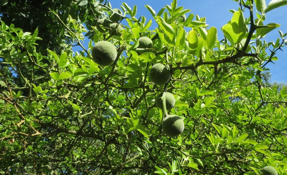 citronecnik - Citronečník trojlistý – přečká bez potíží i naši zimu