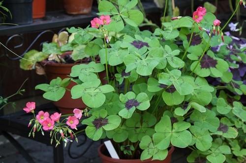ctyrlistek rostlina - Šťavel čtyřlistý je okrasná rostlina. Pěstujte si štěstí doma