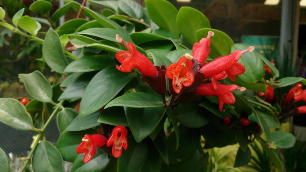 eschynantus rostlina - Eschynantus čili rděnka: Trocha exotiky ve vašem domově