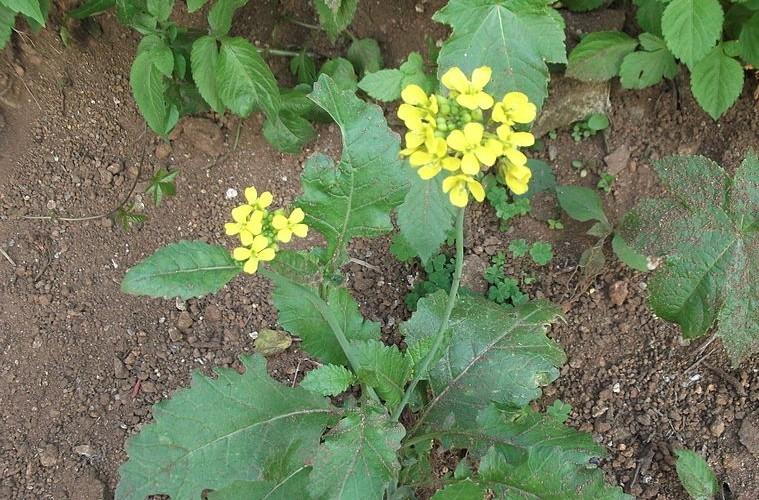 horcice - Vyzkoušíte listovou hořčici? Listy jsou plné vitamínů
