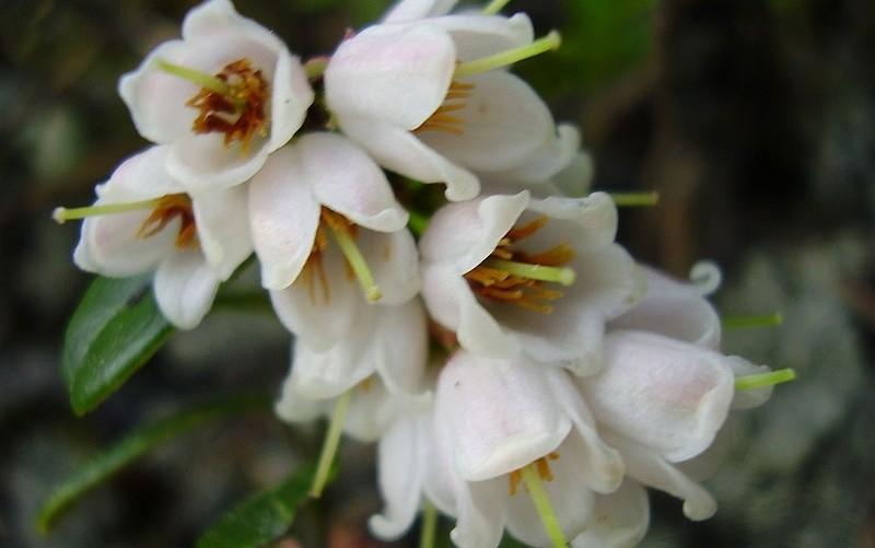 květ brusinky - Brusinky jsou chutné a zdravé ovoce. Vypěstovat si je můžete na zahradě i v nádobě