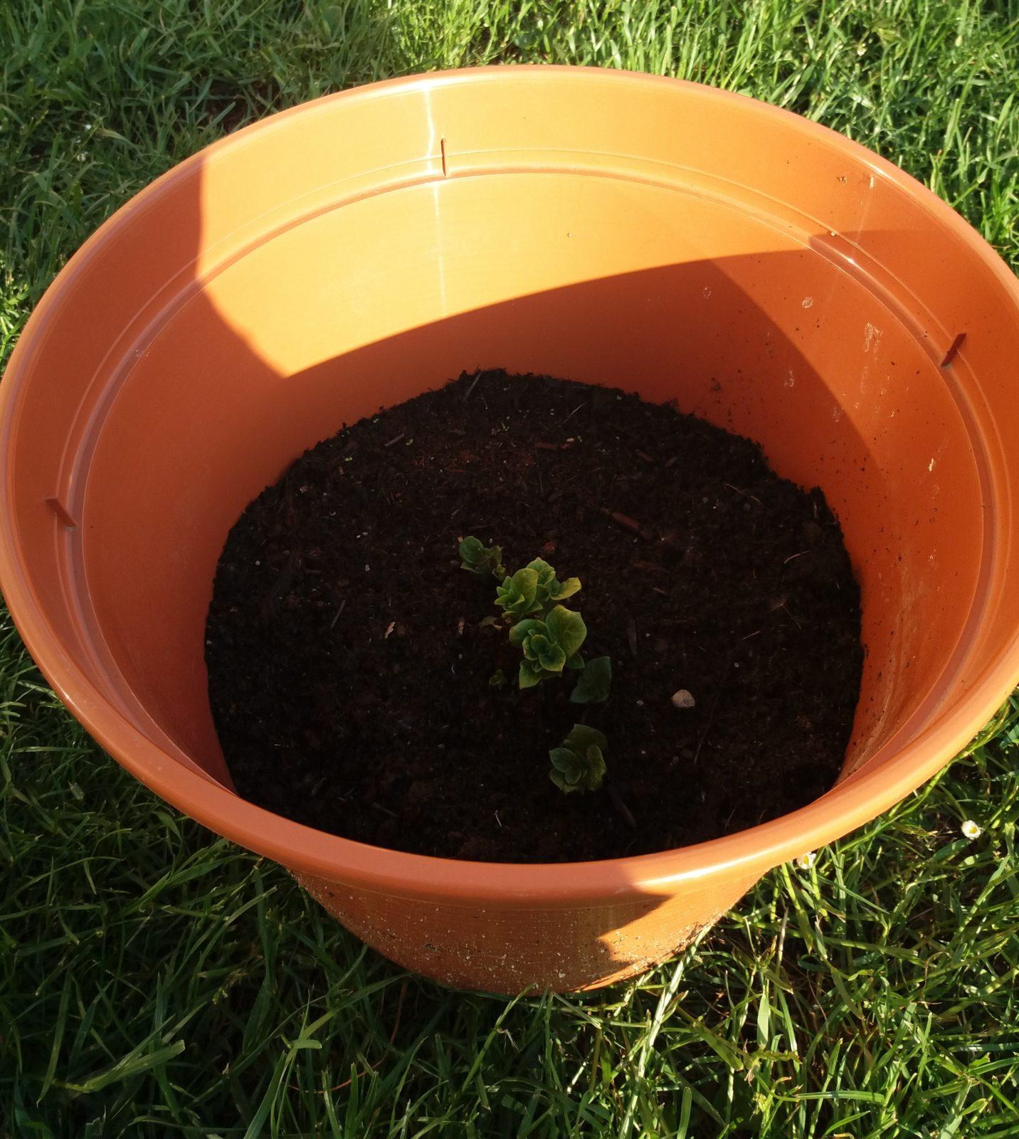 květináč - Brambory se dají pěstovat i v miniaturních podmínkách. Jak pěstovat brambory v květináči