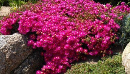 lampranthus rostlina