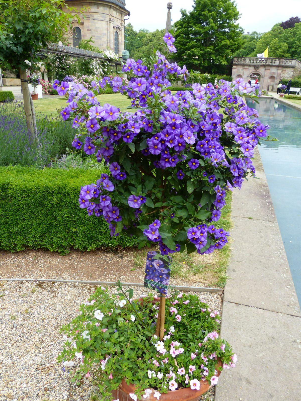 lilek modrý - Hořcový stromek aneb lilek modrý – bujně rostoucí a bohatě kvetoucí