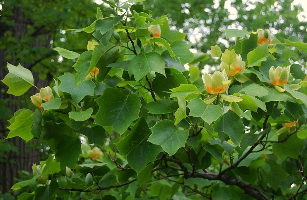 liliovnik rostlina - Liliovník tulipánokvětý: Vznešený strom s výraznými květy