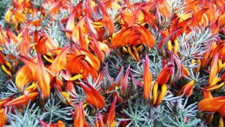 lotus kvety