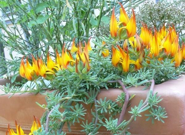lotus - Štírovník: Zaujme ohnivými květy. Oblíbená balkonová rostlina