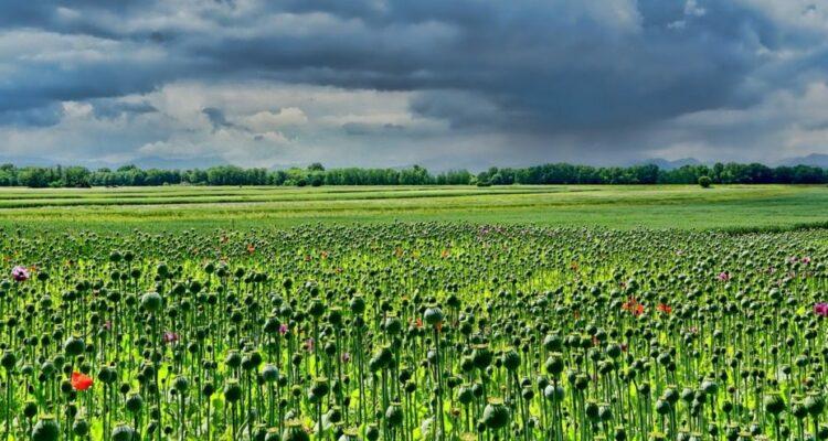 maková pole