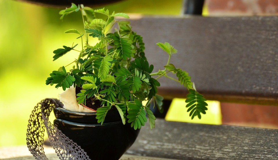 mimosa rostlina - Citlivka stydlivá: Reaguje na dotek pohybem