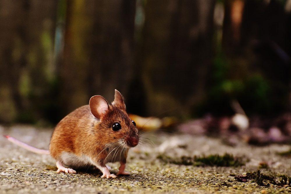 myš - Hnojivo z černého bezu účinně likviduje škůdce