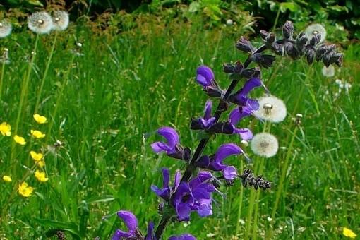 salvej lucni - Rozmanité druhy šalvějí, kvetou i voní a jsou okrasou zahrady