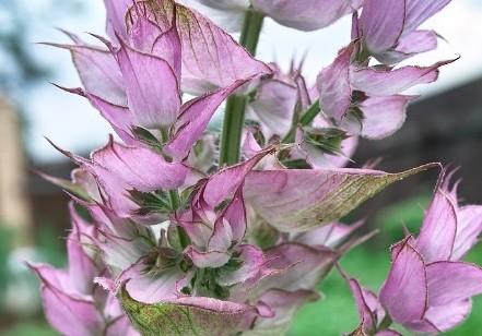 salvej muskatova - Rozmanité druhy šalvějí, kvetou i voní a jsou okrasou zahrady