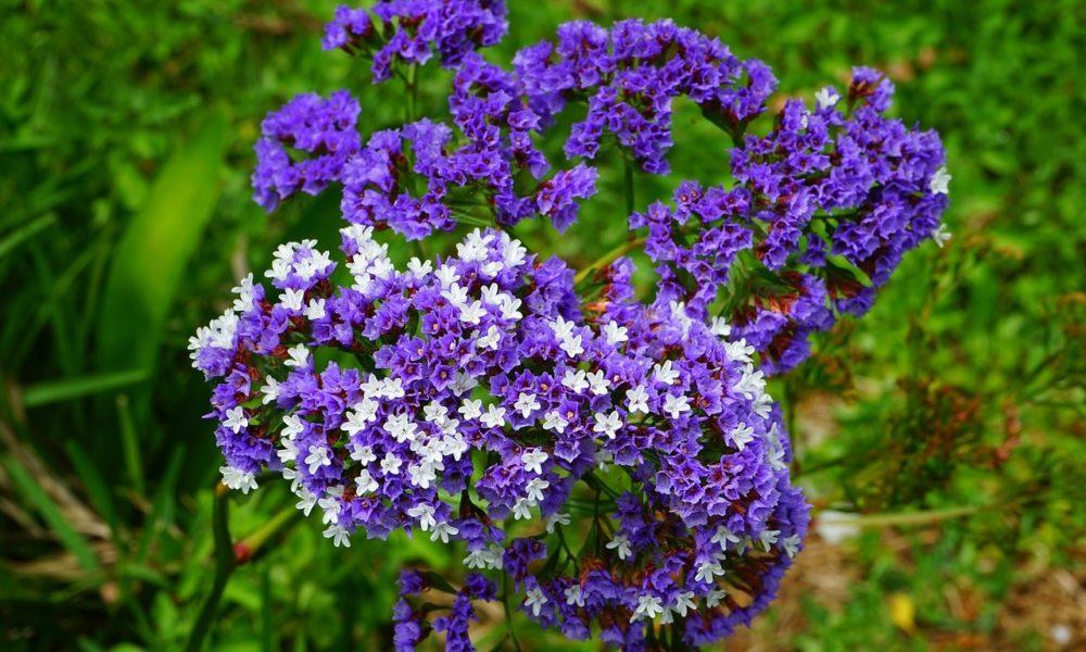 statici - Limonka (statice): Pestré květy, které vydrží i po usušení krásně barevné