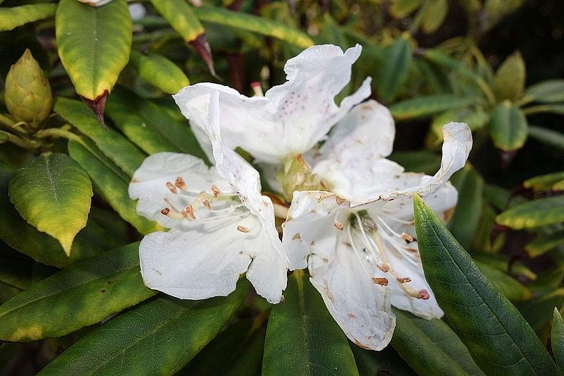 Rhododendron annae - Vybíráme do zahrady rododendron podle barev