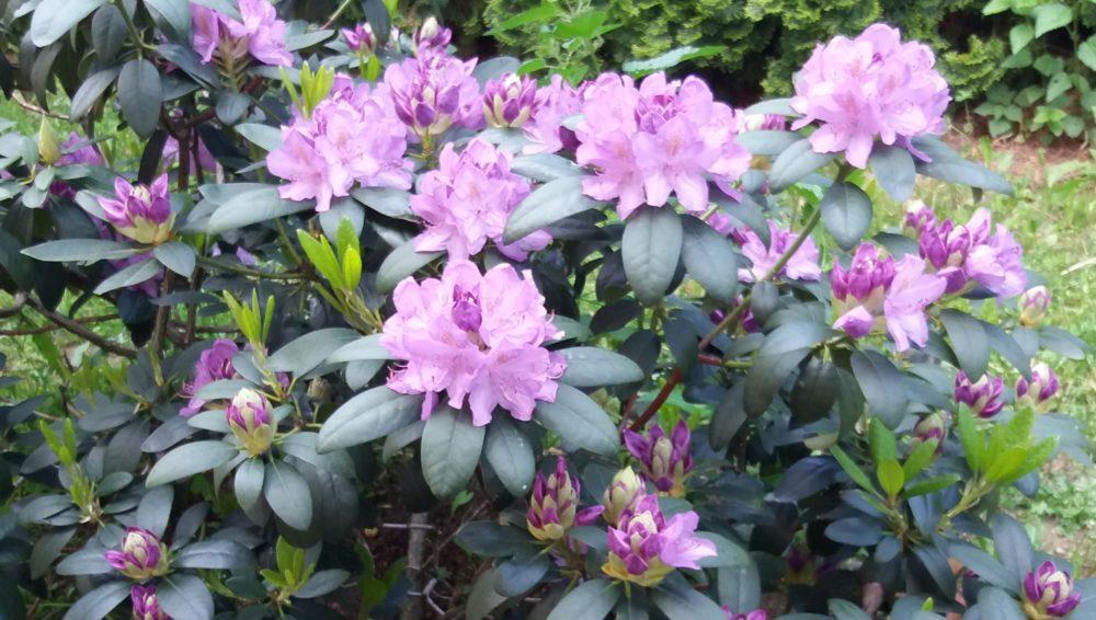 Rhododendron - Vybíráme do zahrady rododendron podle barev