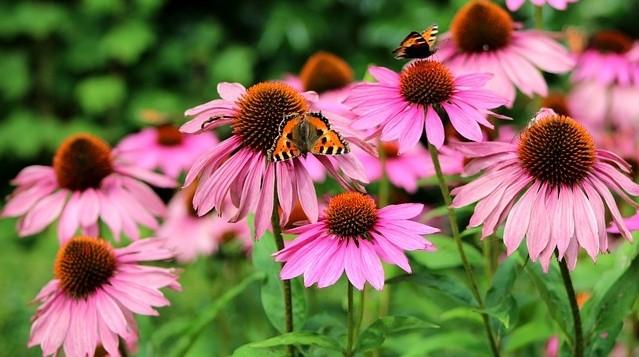 echinacea purperea - Echinacea: Dekorativní okrasa i přírodní antibiotikum