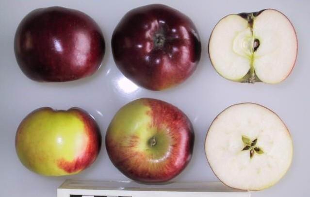 jablko flamenco - Ozdobná jabloň, aneb když krása je víc než užitek