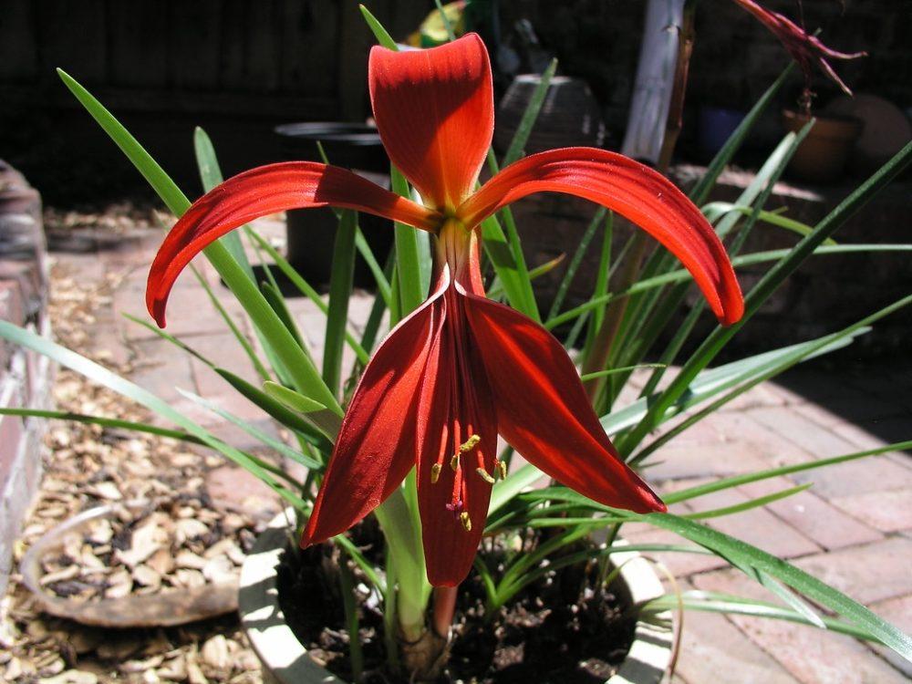 lilie jakubska - Jakubská lilie je atraktivní sytě červeným květem