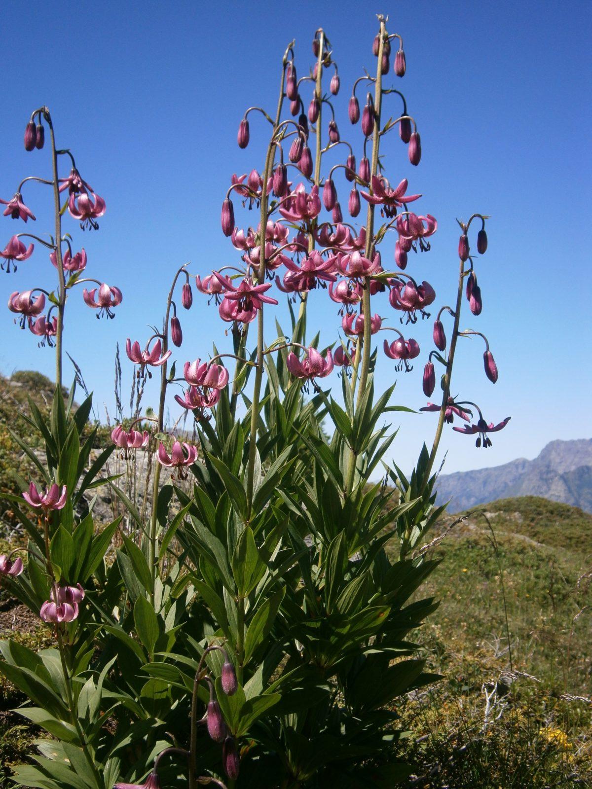 lilie - Lilie zlatohlavá je něžná a exotická kráska v zahradě