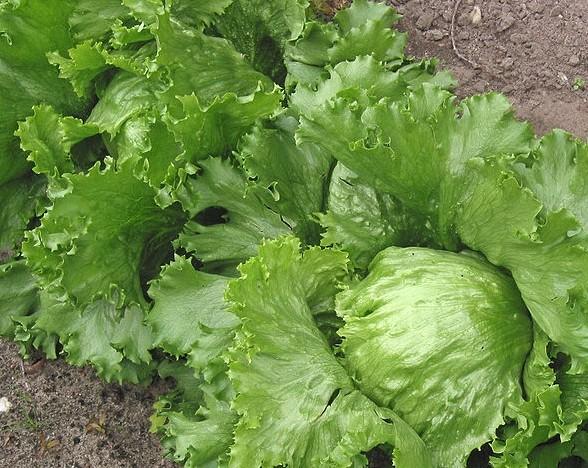 locika seta - Sázení hlávkového a ledového salátu v červnu