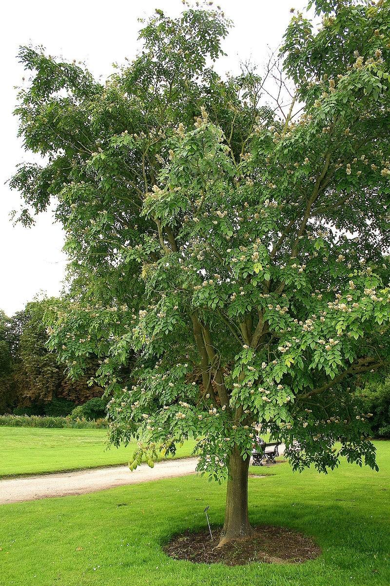 makie amurska - Mákie vás ohromí nejen listy, ale také květy