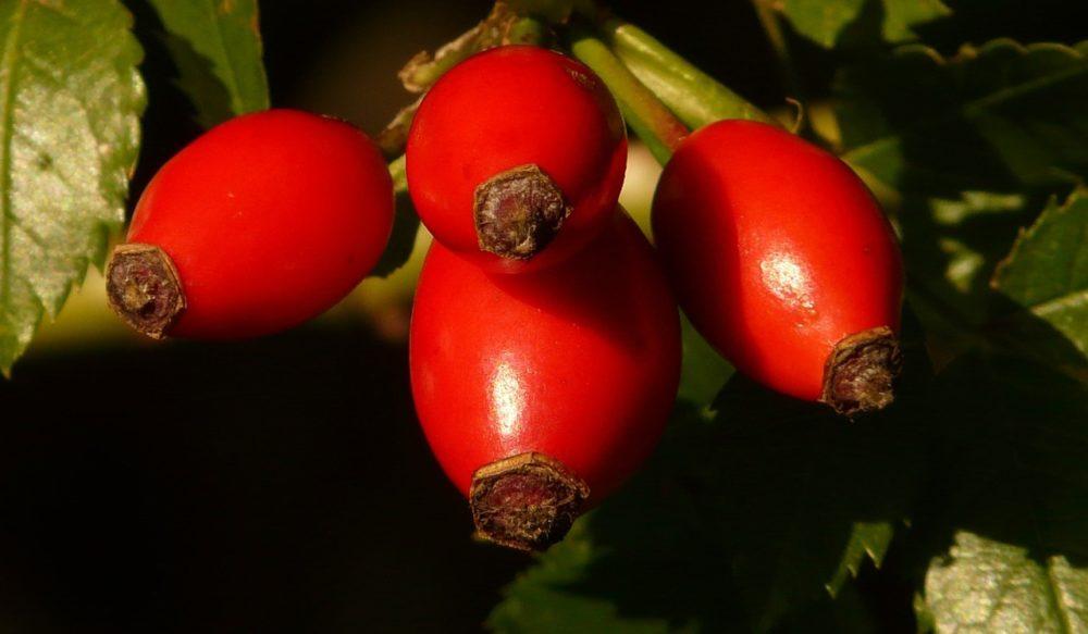 sipky - Šípkový olej hojí jizvy a je vhodný i na pokožku miminek