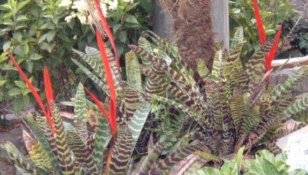 vriesea rostlina