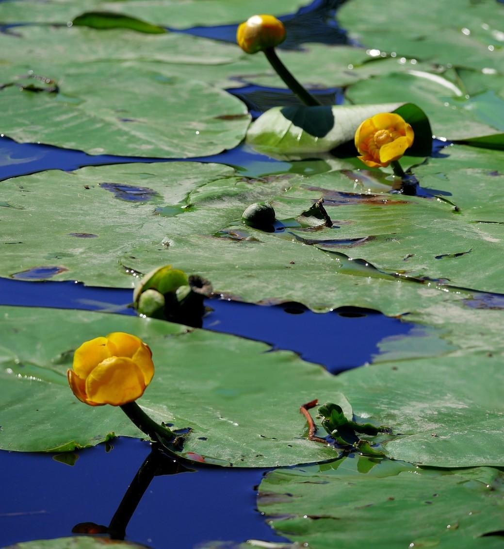 zluty stulik - Stulík žlutý je okrasná rostlina vodních ploch