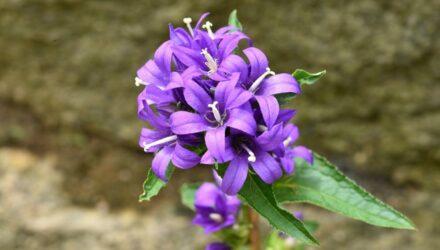 zvonek kvet