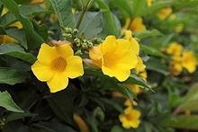 Allemanda - Alamanda počistivá: Impozantní trvalka s výraznými květy