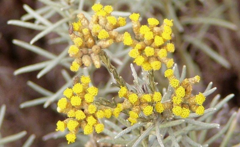 Helichrysum - Smil italský: Bylinka s vůní kari, která je vhodná i do sušených vazeb