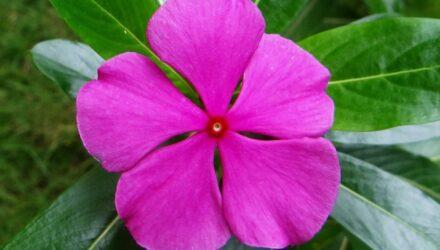 barvinkovec