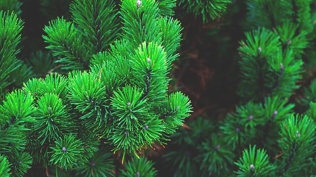 borovice - Jak připravit sirup z borovice, který zachutná i dětem