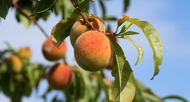 broskve - Které ovocné odrůdy dozrávají v červenci