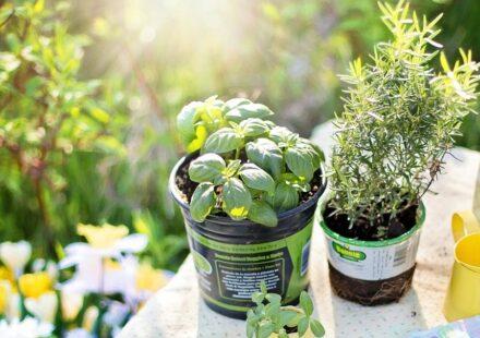 bylinka rostlina