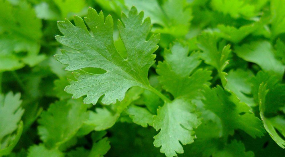 celeropetrzel rostlina - Celeropetržel Serina: Chutná i léčivá asijská bylinka