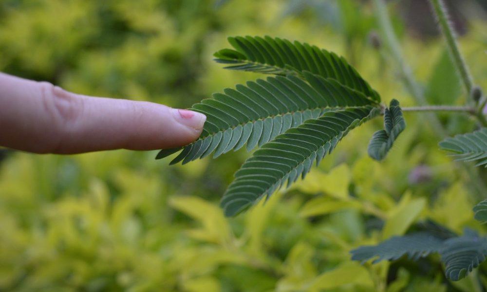 citlivka - Citlivka stydlivá: Rostlina, která se opravdu hýbe před očima