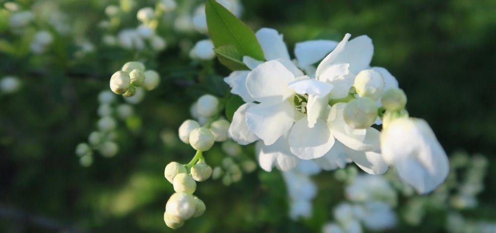 hroznovec kvet - Hroznovec hroznatý: Keř, který na jaře poutá květy, v zimě plody