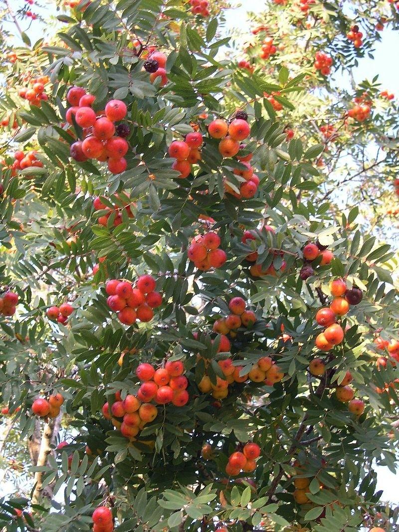 jerab - Oskeruše aneb takřka zapomenutý vzácný strom