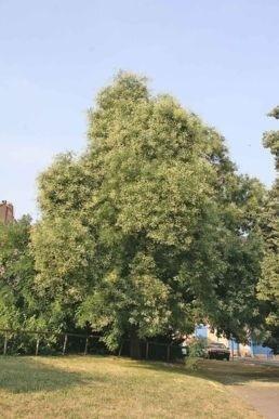 jerlin - Exotický krasavec, kterému nevadí znečištěné ovzduší? Zkuste jerlín japonský