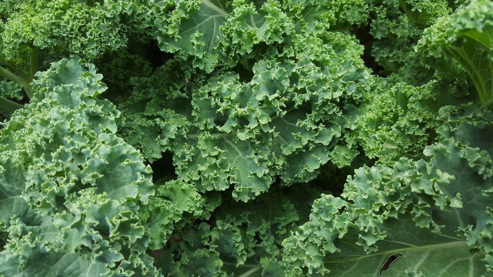 kaderavek rostlina - Kadeřávek je zdravé a chutné zpestření jídelníčku, dá se sklízet i v zimě