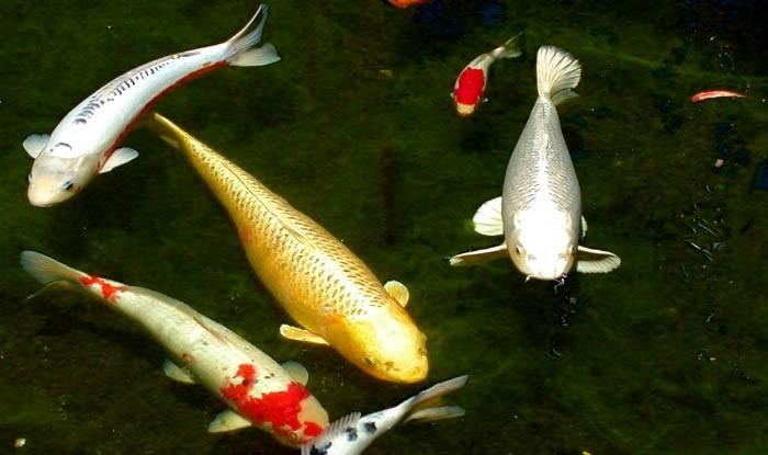 kapr koi - Proč si pořídit ryby do zahradního jezírka